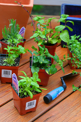 small pots of herbs from the garden center